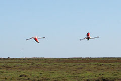 Camargue - Flamants Roses