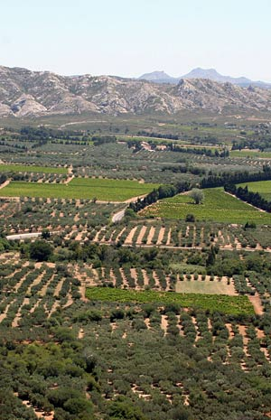 Olive trees fields in Les Baux de Provence