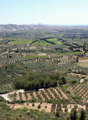 Olive trees fields in Le Baux de Provence