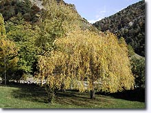 Beaujeu, weeping willow