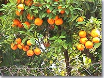 Roquebrune Cap Martin - Orange trees