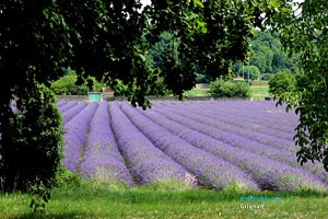 Lavender field in Grignan