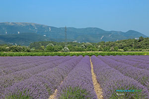 Nyons, lavender fields between Nyons and Grignan