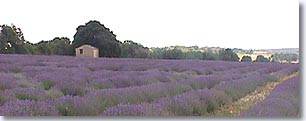 Saint Christol, lavender field
