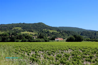 Saint Roman de Malegarde, vineyards